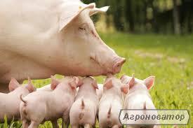 Поросята мясные гибриды, Датской селекции