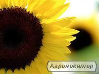 Насіння соняшнику Одіссей