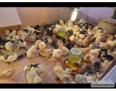 інкубаційне яйце-добові курчата