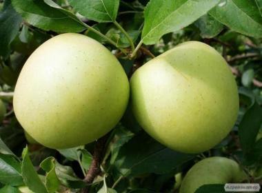 Саженцы яблони сорта Снежный Кальвиль, от производителя