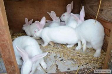 Продам кроликов мясных пород. Калифорнийцы и Термонці.