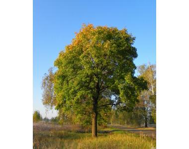 Крупномерные саженцы лесных деревьев