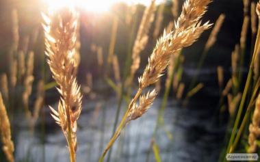 Семена яровых культур(яровой пшеницы, ячменя, кукурузы, подсолнечника)