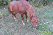 Робочий кінь