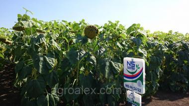 НС-Х 2652 новый высокоурожайный гибрид под Гранстар