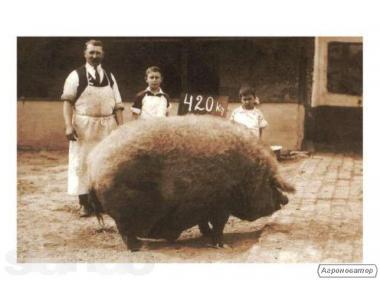 Продам поросят, свиней породи мангаліца, мангал Моспіно