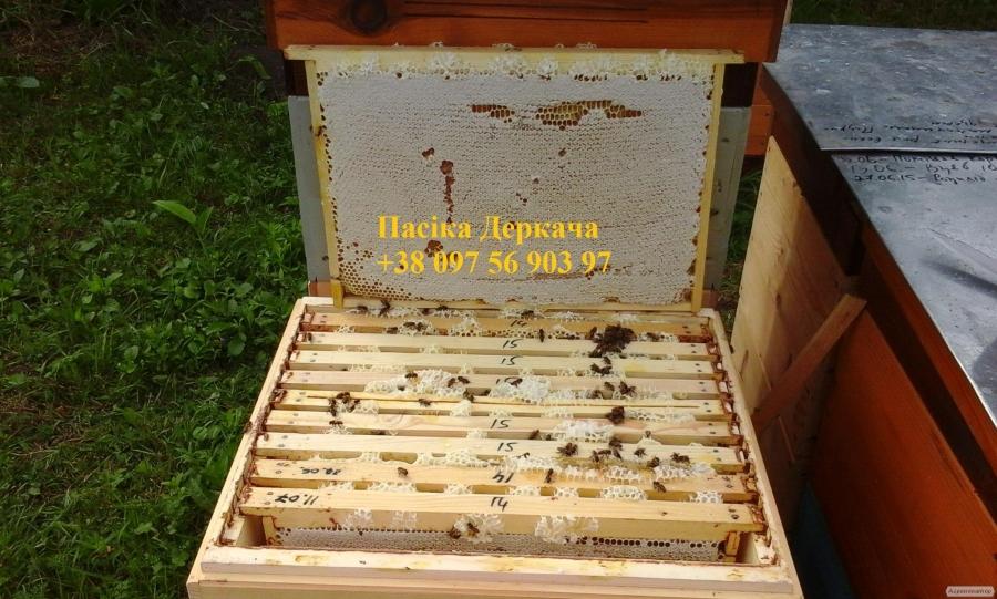 Продам плідні мічені бджоломатки карпатки доставка
