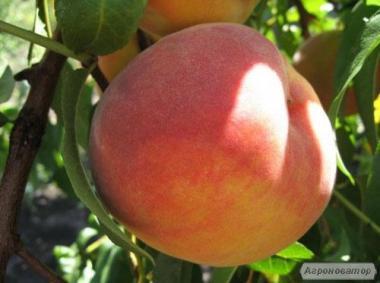 Саженцы персика сорта Роял Ви, от производителя