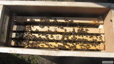 Пчелопакеты породы Карника