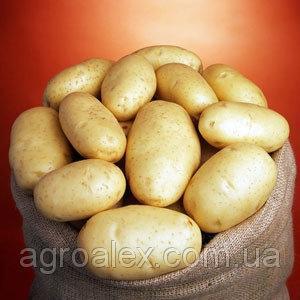 Бюррен сорт картоплі 1репр. 16грн/кг