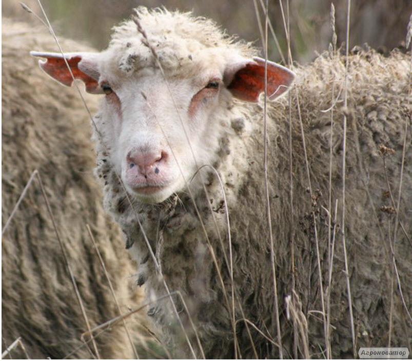 Продам овець і ягнят.