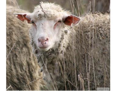 Продам овец и ягнят.