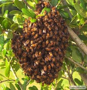 Пчелиные рои 3000 рублей ЛНР