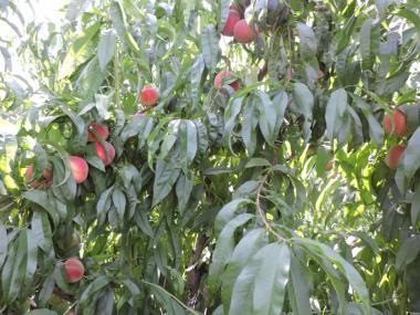 Продам сажанцы персика, сорта