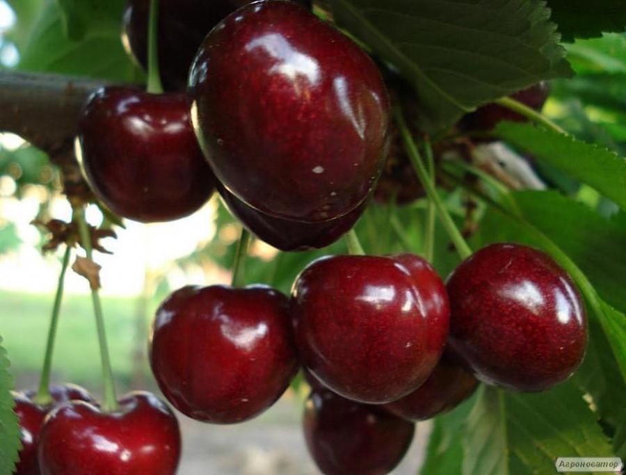 Саджанці черешні сорту Саміт, відмінної якості, від виробника