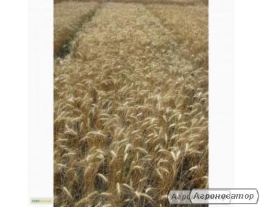 Семена пшеницы озимой - сорт Спасовка. Черкасская обл.