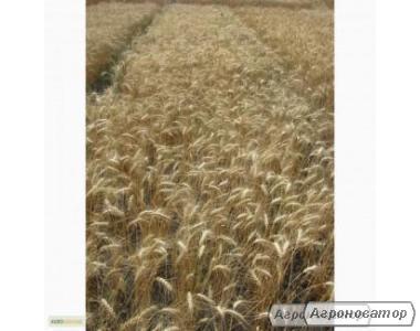 Насіння пшениці озимої - сорт Спасівка. Черкаська обл.