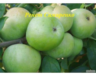 Саженцы яблони сорта Ренет Симиренко, от производителя