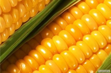 Продам насіння гібридів кукурудзи української селекції Солонянський,Оржиця