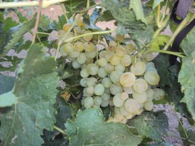 Продам столовий виноград оптом