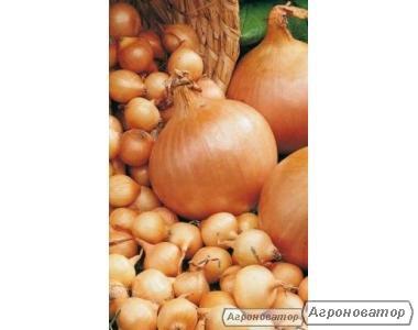 лук-севок (арпажик)