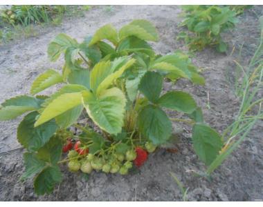 Продам розсаду полуниці та малини