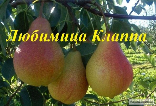 Саджанці груші Улюблениця Клаппа від виробника