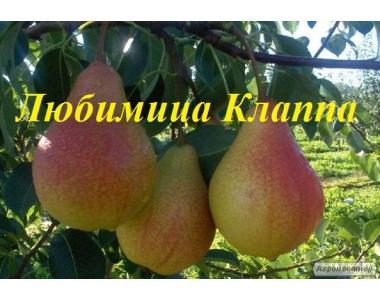 Саженцы груши Любимица Клаппа от производителя