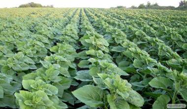 Семена подсолнечника Борислав (евро- лайтинг)