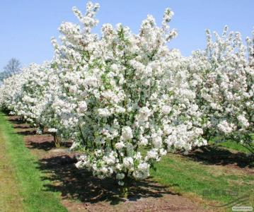 Саджанці декоративної яблуні сорту Еверест від виробника