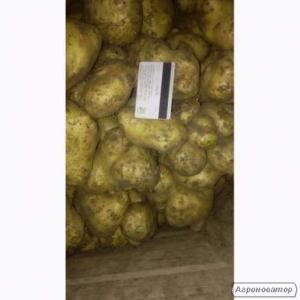 Продам оптом картоплю, картоплю некондиція сорт Рів'єра