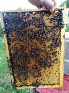 Пчелопакеты карпатки доставка почтой