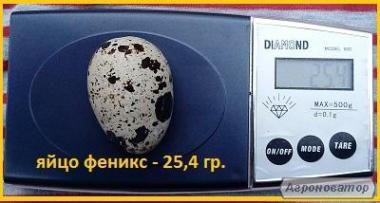 Яйцо перепела инкубационное, селекция Франции, Испании.