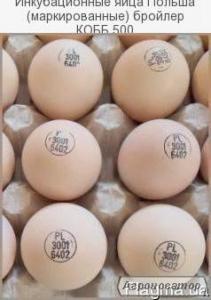 Инкубационные яйца Польша (маркированные) бройлер КОББ 500