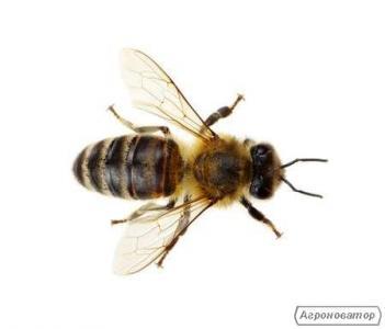 Отводки пчел(пчелопакеты) июнь 2019 Харьков