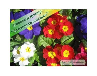 Примула, цветы к 8 Марта, Киев, садовая примула, садовый центр