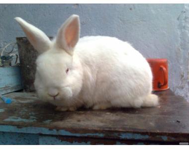 Продам кроликов Новозеландских белых 2-х мес.