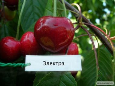 Продаем саженцы черешни и вишни от производителя