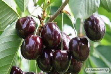 Продаємо саджанці черешні, вишні, вишнево-черешневого гібрида