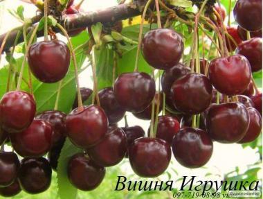 Продаем саженцы черешни и вишни