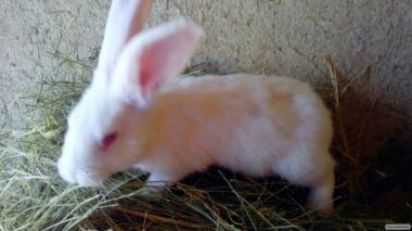 Кролики породи Білий Велікан