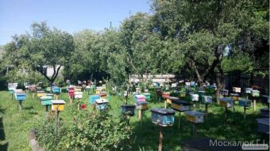 Предлагаю Пчеломатки Москалюк Г.И.