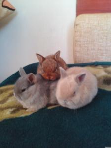 Карликовий кольоровий кролик