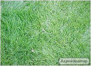 Насіння раграса газонного