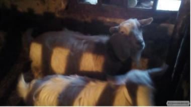 Срочно продам козу, коз