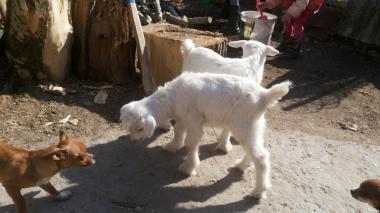 Полузааненські козли і кози на плем'я