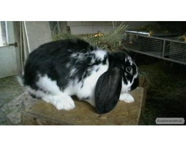 Продам кроликов французский баран мясной породы