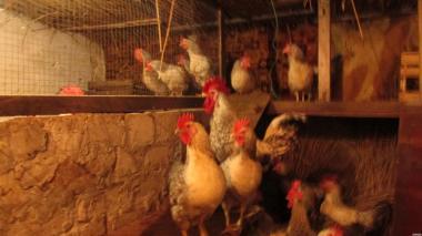 Продам инкубационное куриное яйцо