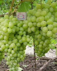 Виноград белый ранний Лора