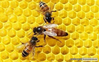 Высокопродуктивные пчеломатки Украинской степной породы